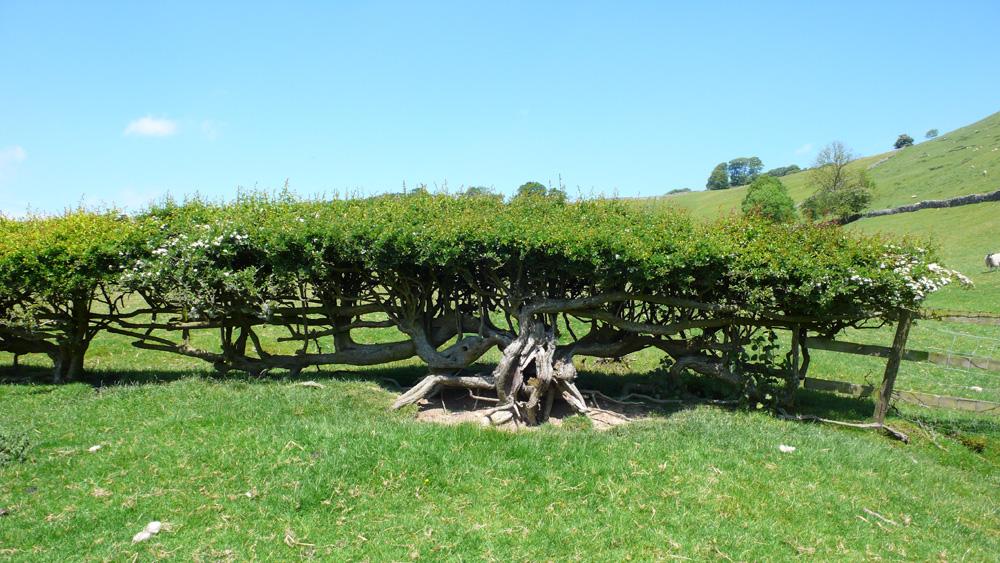 Hawthorn-hedge-Deborah-Treliving-contemporary-British-artist